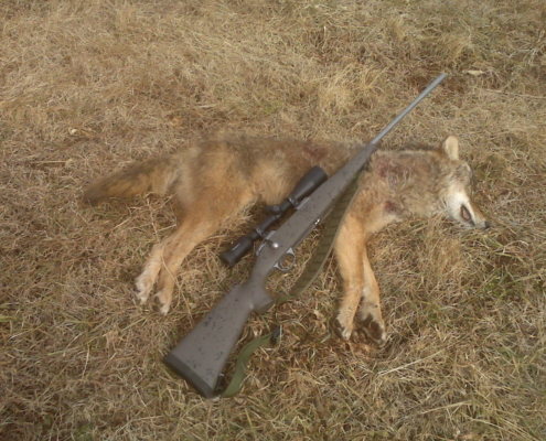 Eastern Coyote Taken at 328 Yards wih Accuflite Arms RT 100 6.5x284;